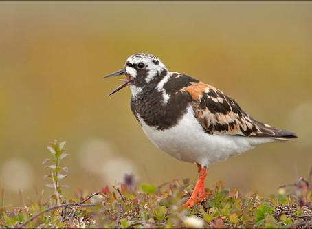 What are the shorebirds?