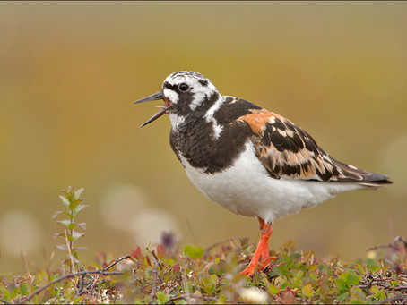 What are the shorebirds?