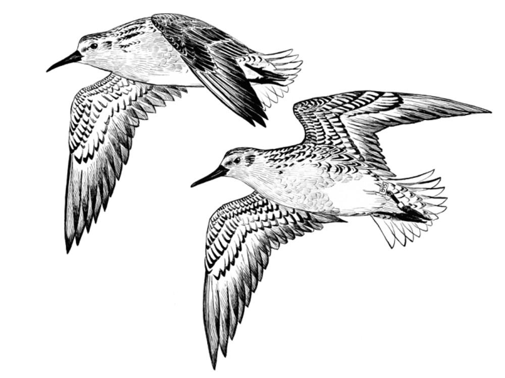Annual logo of the 28th Oregon Shorebird Festival made by Ram Papish/www.rampapish.com