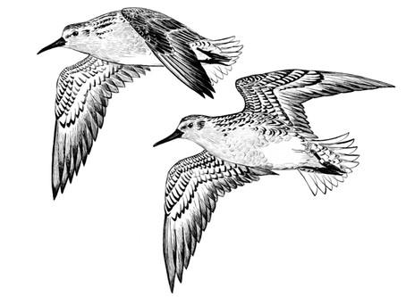 Oregon Shorebird Festival to be held on the World Shorebirds' Day