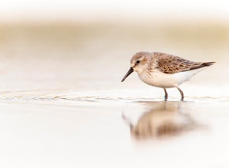 Global Shorebird Counting 2016 dates