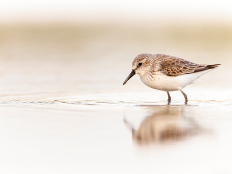 Global Shorebird Counting 2016 dates