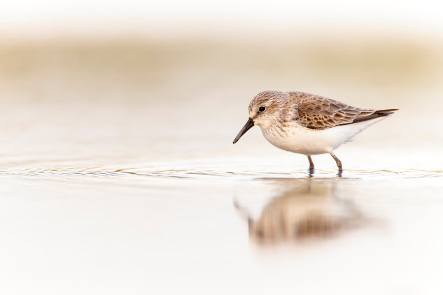 Western Sandpiper closeup by Bob Smith on 500px.com