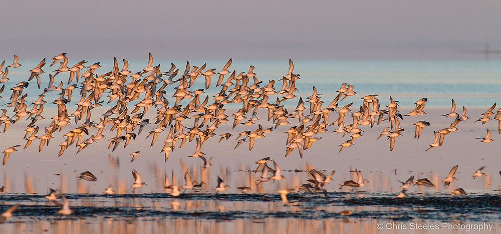 Red Knots & Curlew Sandpipers
