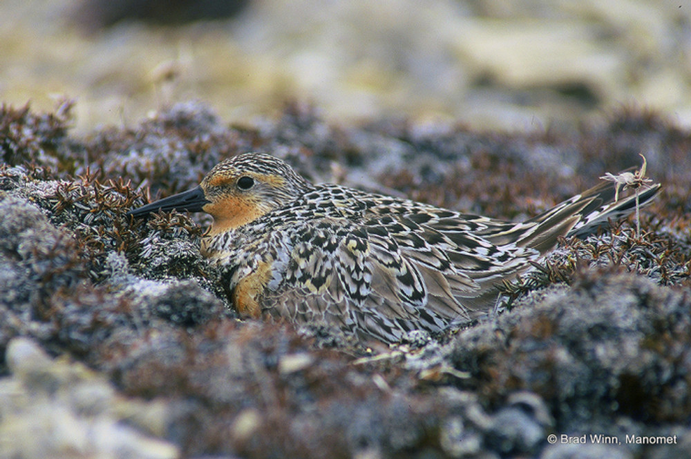 The rufa Red Knot has recently been designated as a threatened subspecies under the Endangered Species Act. Photo was taken on its Southampton Island nesting ground. © Brad Winn/Manomet