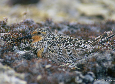 Red Knot is the 2015 'Shorebird Of The Year'