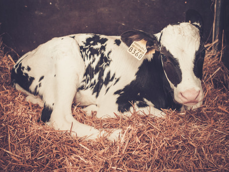 The Scourge of Calf Scour