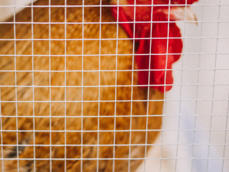 Investigating the confinement and behavioural need of animals