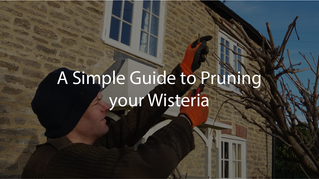A Simple Guide to Pruning Your Wisteria