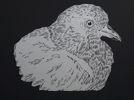 Pigeon profile