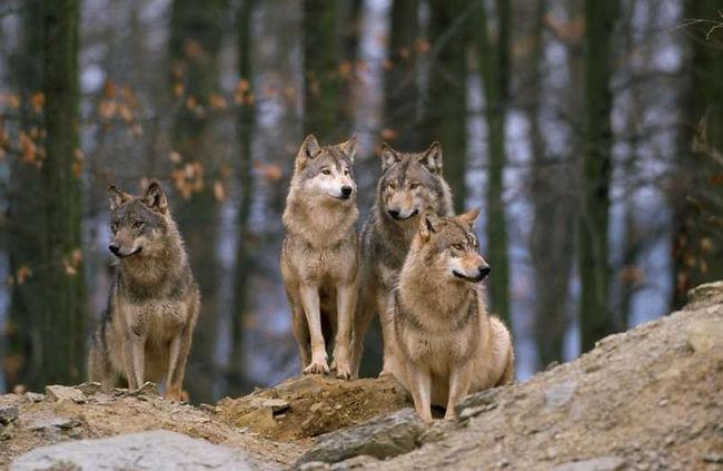 volkovi-10-2-2020