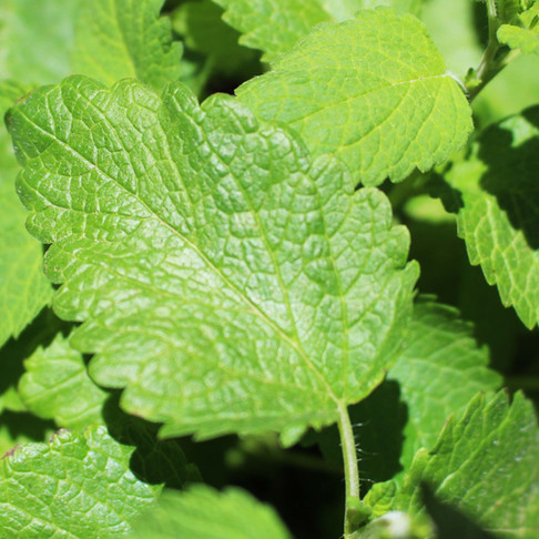 5 Fascinating and Useful Ways to Use Lemon Balm