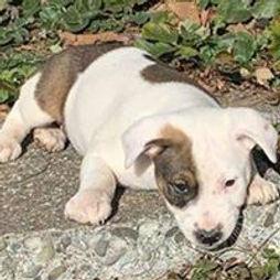White-Brn Puppy.jpg
