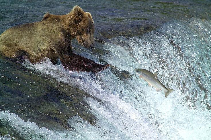 kodiak-brown-bear-2042153_960_720.jpg