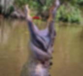 alligator-440129_960_720.jpg