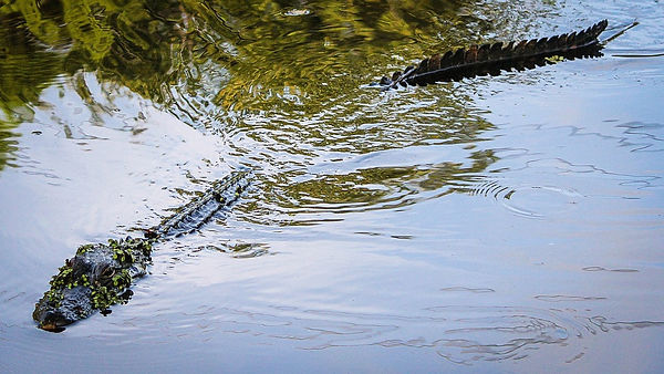 alligator-439891_960_720.jpg