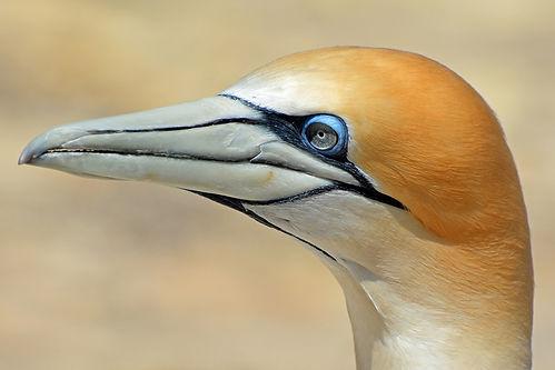 northern-gannet-1577300_960_720.jpg