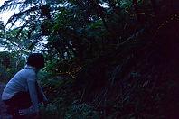 石垣島の神秘、蛍の輝き