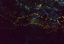 ヤエヤマヒメボタルの光