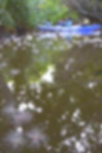 カヌーから水面に花咲くサガリバナを観察