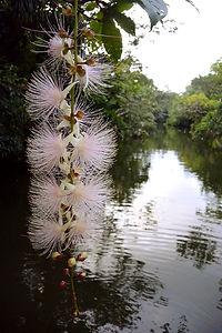 西表島マングローブの川に咲くサガリバナ