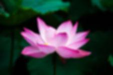 Pink Lotus single flower.jpg
