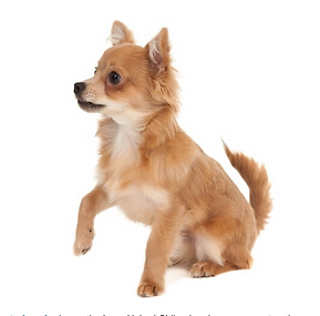 CHIHUAHUA WHITE BACKGROUND.png