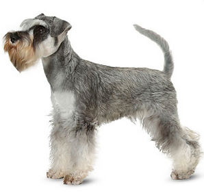 MINI SCHNAUZER_edited.jpg