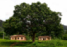 A Baru tree with baru nuts