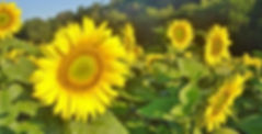 sunflower fields of the guest house in Aquitaine-Dordogne-France-larzac