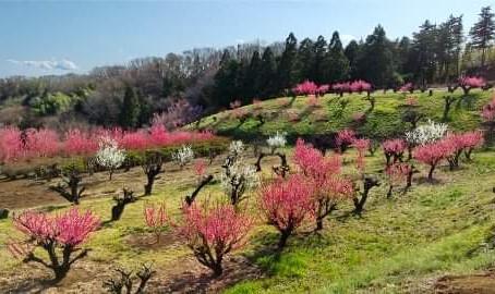 3月は青葉区の桃源郷「花桃の丘」へ🎵