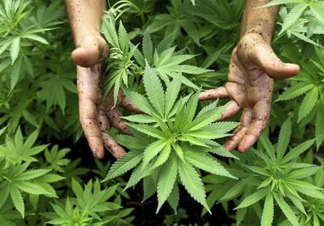 El Observatorio Europeo del Cannabis pide a los partidos la regulación inmediata del CBD
