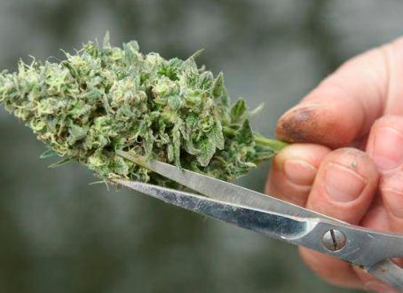 Saber cuando podar la planta de marihuana