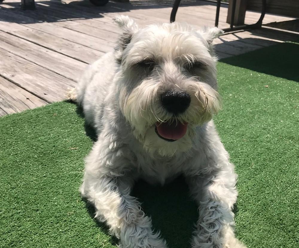 Fletch Dog Sunbathing on His Birthday 2019