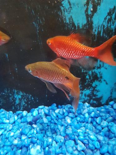 7cm lonfin rosy barb pair 1m1f