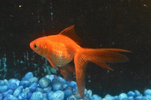 red longtail (normal) rhyukins 9cm