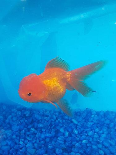 9 to 10cm red full face oranda --chubby cheeks