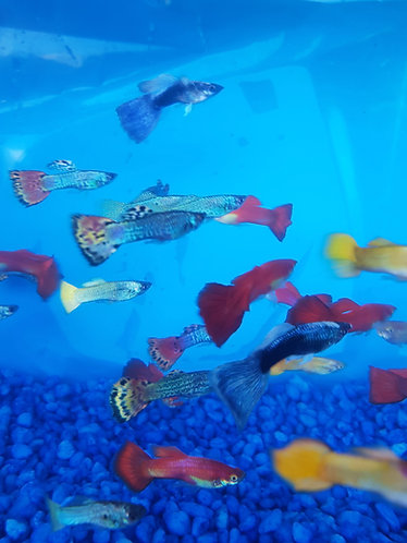 5 assorted 3 to 4cm male guppys