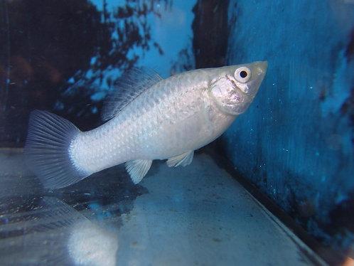 5cm silver molly