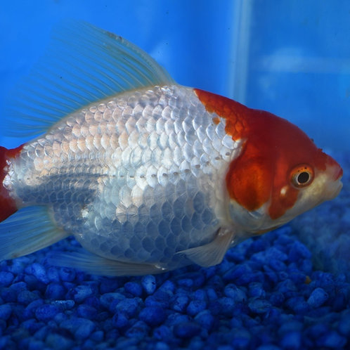 5cm red and white chubby comets
