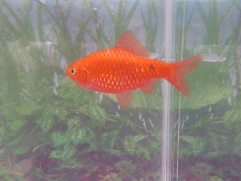 5 male chilli rosy barb 5cm (neon)