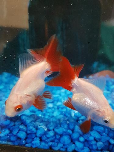 5cm red tail shortfin rhyukins