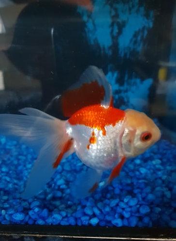 5 to 7cm red and white round body oranda