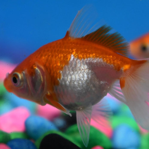 5cm red and white fantail