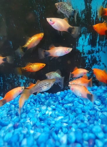assorted micki mouse platy 3.5cm