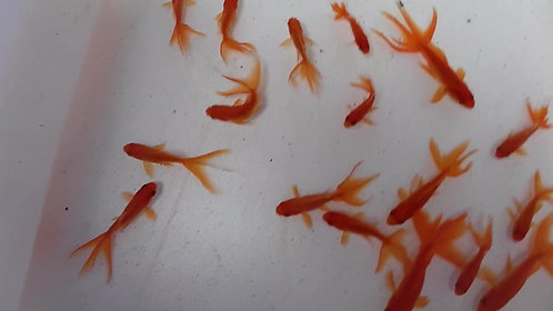 8to9 cm watonai gold fish
