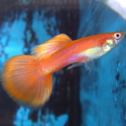10 blonde red male guppy 3.5cm