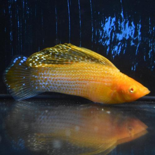 5 red eye gold sailfin molly males 5cm