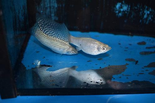 silver sailfin molly pair 5cm  1m1f