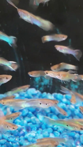 10 japan blue endler male guppy 2 to 3.3cm